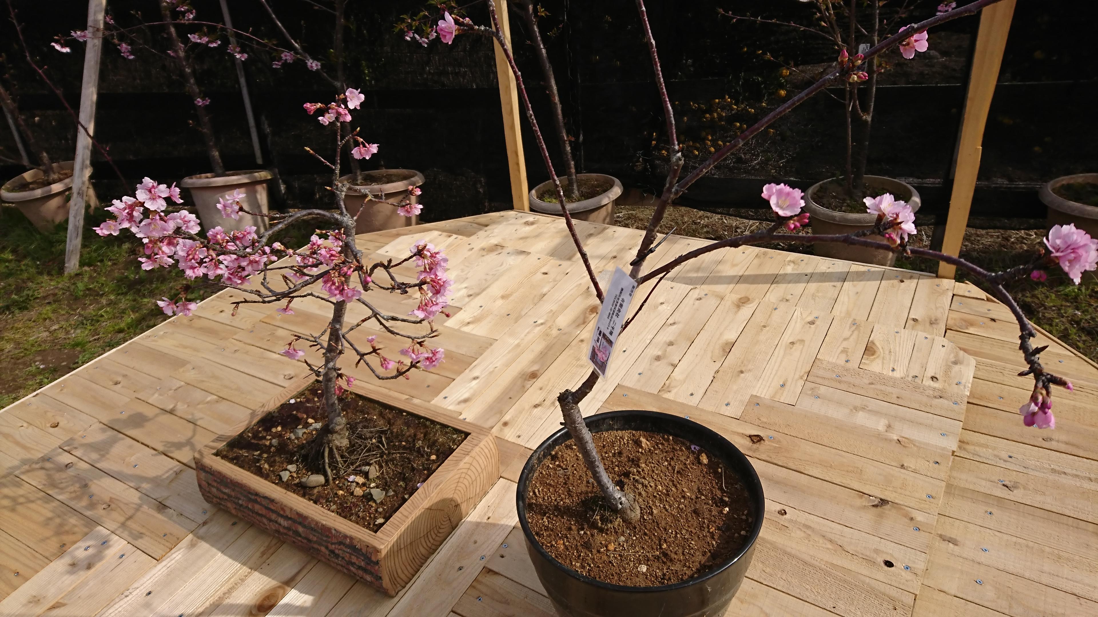 河津 桜 原木 の 苗