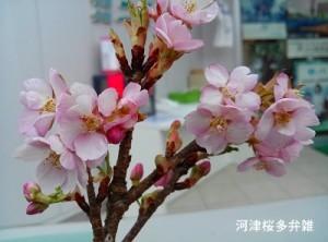河津桜多弁雑